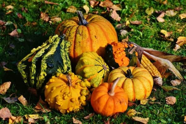 pumpkins in yard