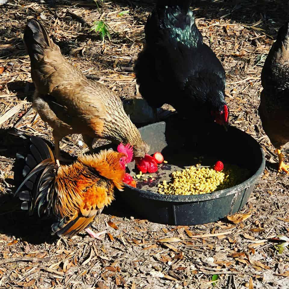 feed chickens yogurt and berries.