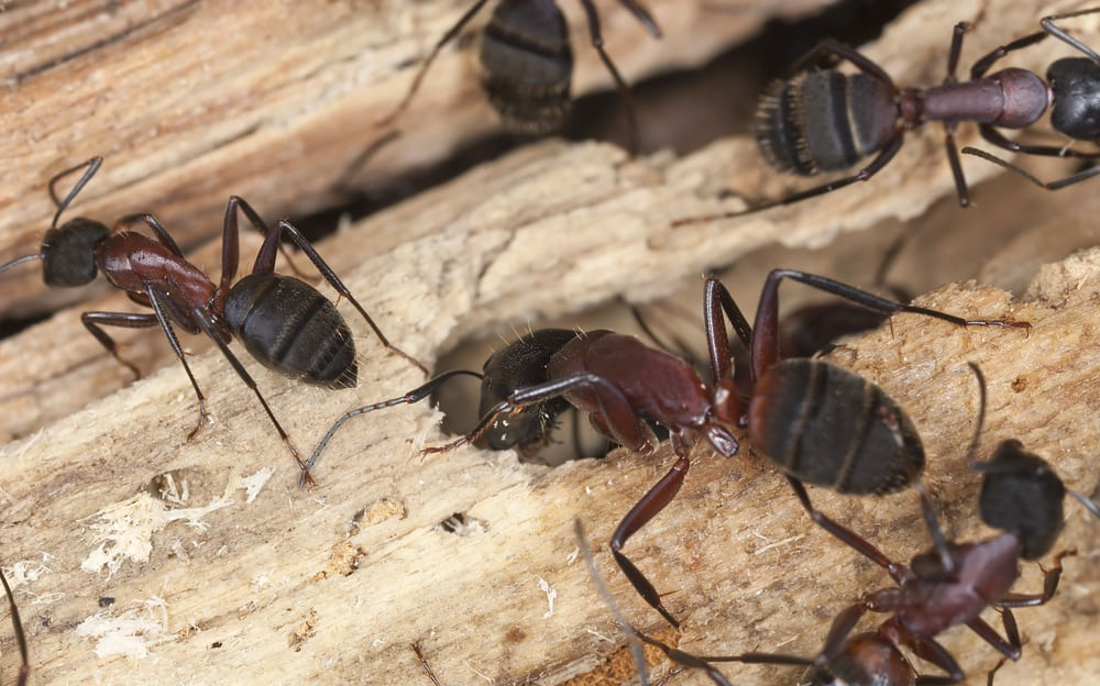 carpenter ants in tree