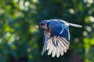 blue jay with peanut in mouth