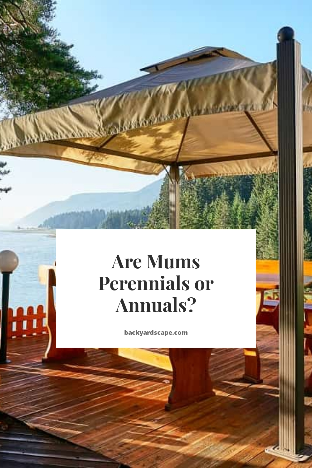 Are Mums Perennials or Annuals?